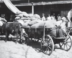 Taken in Kyiv in 1932-33, this photograph shows two separate large carts being loaded full of grain ready to be taken away by an ox.