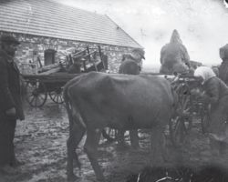 Taken in Donetsk in 1932-33, this photograph shows a cow being taken away by four men from a village farmer. A woman stands next to her cow talking to it, and presumably pleading with the men taking it away. All are focused on hooking up the cow to the wagon. This photograph is an example of how collectivization was carried out, taking away animals and equipment needed for the collective farms.